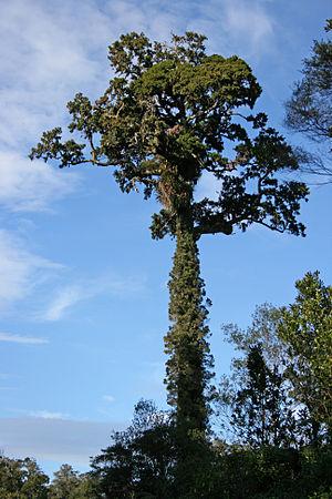 Dacrydium cupressinum - A mature rimu