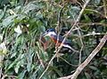 Ringed Kingfisher (Megaceryle torquata) (5818992015).jpg
