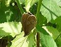 Ringlet. Monkswood June'09 - Flickr - gailhampshire.jpg