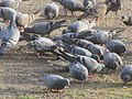 Rock Doves, Sangola, Maharashtra, India.jpg