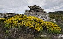 Rock and Cytisus scoparius flowers, Rosis cf01.jpg