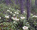 Rododendron bureya.jpg