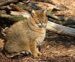 Rohrkatze (Felis chaus)