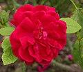 Rosa 'L.D. Braithwithe' David Austin.jpg