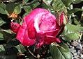 Rosa Paradise 0zz.jpg