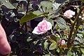 Rosa Perfume Perfection 1zz.jpg