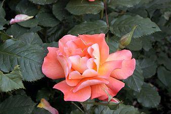 Rosa Westerland0.jpg
