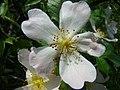 Rosa canina inflorescence (06).jpg