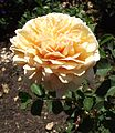 Rosa english garden.jpg