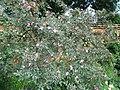 Rosa glauca plant (10).jpg