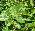 Rosa rubiginosa leaf (18).jpg