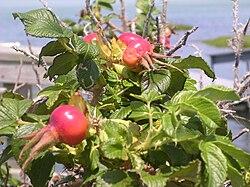Rosa rugosa Yarmouthport fruit 2.jpg