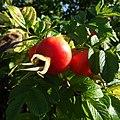 Rosa rugosa fruit (07).jpg