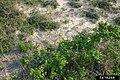 Rosa rugosa plant (109).jpg