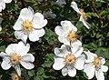 Rosa spinosissima inflorescence (95).jpg