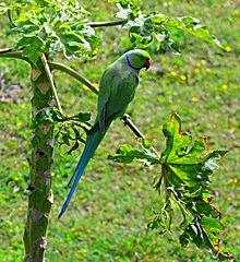 Green Ring Necked Parakeet
