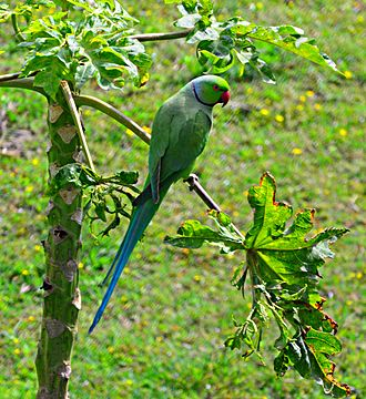 Rose-ringed parakeet - Rose-ringed parakeet at Chandigarh, India