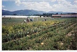 Roses pickers in roses vally, kazanlak, bulgaria.jpg
