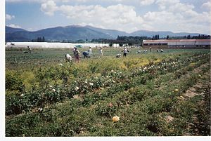 Kazanlak - Rose pickers in the Valley of the Roses, with the Balkan Mountains in the background.