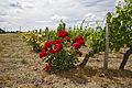 Roses vignes.jpg