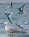 Ross's Gull From The Crossley ID Guide Eastern Birds.jpg
