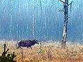 Rothirsch im Kieshofer Moor retuschiert.jpg