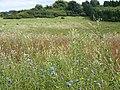Rough grazing, Fovant Down - geograph.org.uk - 1452044.jpg