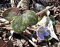 Round-Lobed Hepatica Laurel Bluffs Trail Eno River SP 6085 (7186746070).jpg