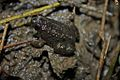 Round-tongued Floating Frog (Occidozyga martensii)5.jpg
