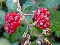 Rubus (Braam), Nieuw Leeuwenhorst, Noordwijk.jpg