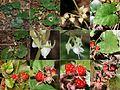 Rubus buergeri (Montage).jpg
