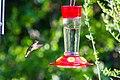 Ruby-throated hummingbird (46826369355).jpg