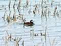 Ruddy Duck (15704636262).jpg