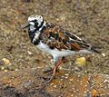 Ruddy Turnstone at Smyrna Dunes Park - Flickr - Andrea Westmoreland.jpg