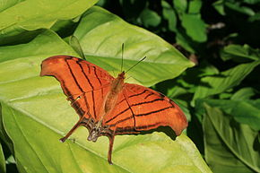 Description de l'image Ruddy daggerwing in Loxahatchee National Wildlife Refuge.JPG.
