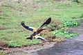 Ruddy shelduck flying at Chitwan National Park.jpg