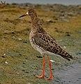 Ruff (male, non-breeding plumage).jpg