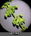 Rumex stenophyllus sl3.jpg
