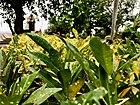 Rush foil plants on Kailasagiri.jpg