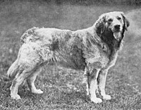 Russian Yellow Retriever from 1915.jpg