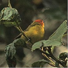 Rust-and-yellowTanager.jpg