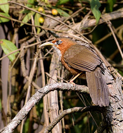 Rusty-cheeked Scimitar babbler.jpg