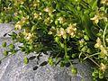 Sagina procumbens20110612 491.jpg