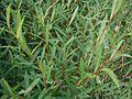 Salix-purpurea-leaves.JPG
