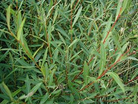 Salix-purpurea-leaves.JPG