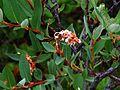 Salix myrtilloides.jpg
