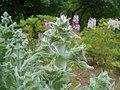 Salvia aethiopis 2016-05-31 2057.jpg