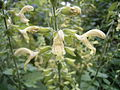 Salvia glutinosa R0018401.JPG