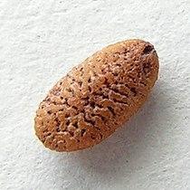 Sambucus nigra20100414 39.jpg