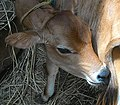 Sanketh dairy3 (cropped).jpg